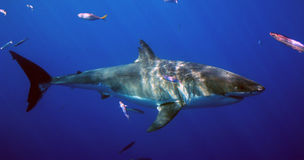 Great White Shark, Guadalupe Island, Mexico. A great white shark stalks the briny deep near Guadalupe Island, Mexico Royalty Free Stock Photo