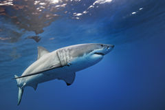 Great White Shark Guadalupe Island Royalty Free Stock Image