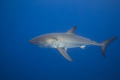 Great White Shark. From Guadalupe.  Picture taken while scuba diving in submersible deep cage Royalty Free Stock Photos