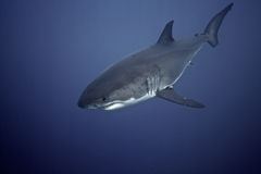 Great White Shark. From Guadalupe.  Picture taken while scuba diving in submersible deep cage Royalty Free Stock Photo