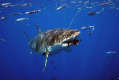 Great White Shark Has a Snack. A Great White Shark off Guadalupe Island in Mexico takes a bite of fish tails Stock Photos