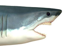 Great White Shark Head Stock Photography