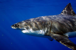 Great White Shark on the Hunt Royalty Free Stock Image