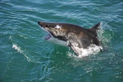 Great white shark jumping out of ocean Stock Image