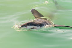 Great white shark face. A great white shark lifts its face from the water as it swims past, Gansbaai, South Africa stock image