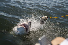 Great white shark. A great white shark lunges for the bait at a cage diving boat while an onlooker takes data in South Africa Royalty Free Stock Photos