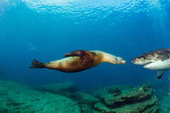 Great White shark meets a sea lion underwater Royalty Free Stock Photo