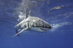 Great White Shark Mexico Stock Images