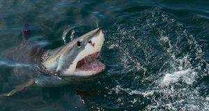 Great White Shark in ocean water an attack. Great white shark, Carcharodon carcharias, with open mouth. Great White Shark Carcharodon carcharias in ocean water stock images