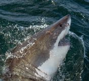 Great White Shark in ocean water an attack. Great white shark, Carcharodon carcharias, with open mouth. Great White Shark Carcharodon carcharias in ocean water royalty free stock images