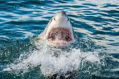 Great white shark with open mouth in ocean. Great White Shark in attack. Scientific name: Carcharodon carcharias. South Africa royalty free stock images