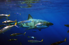 Great White Shark Prowls... Stock Images