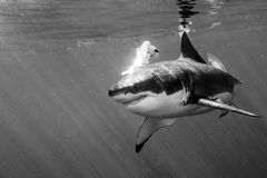 Great White shark ready to attack in black and white. Great White shark while coming to attack you on b&w ocean background Stock Photo