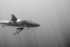 Great White shark ready to attack in black and white Stock Photo