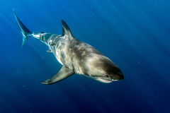 Great White shark ready to attack Stock Photos