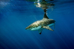 Great White shark ready to attack. Great White shark while coming to you on deep blue ocean background Stock Photography