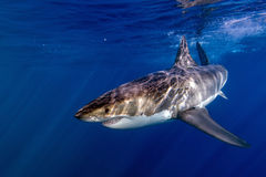 Great White shark ready to attack Stock Photo