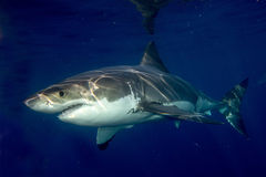 Great White shark ready to attack. Great White shark while coming to you on deep blue ocean background Stock Image