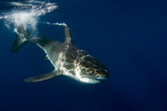 Great White shark ready to attack Stock Photography