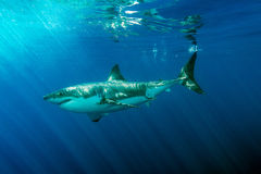 Great White shark ready to attack. Great White shark while coming to you on deep blue ocean background Royalty Free Stock Images