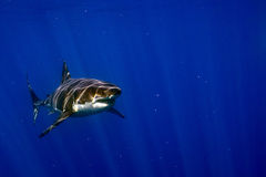 Great White shark ready to attack. Great White shark while coming to you on deep blue ocean background Stock Photos