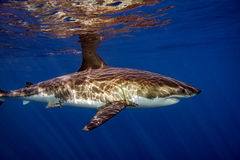 Great White shark ready to attack. Great White shark while coming to you on deep blue ocean background royalty free stock photography