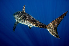 Great White shark ready to attack Royalty Free Stock Photography