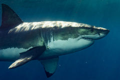 Great White shark ready to attack. Great White shark while coming to you on deep blue ocean background Royalty Free Stock Image