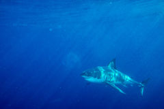 Great White shark ready to attack. Great White shark while coming to you on deep blue ocean background Stock Images