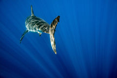 Great White shark ready to attack underwater close up. Great White shark while coming to attack you on deep blue ocean background Royalty Free Stock Photo