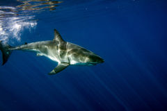 Great White shark ready to attack underwater close up. Great White shark while coming to attack you on deep blue ocean background Stock Photo