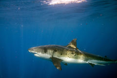 Great White shark ready to attack underwater Royalty Free Stock Photos