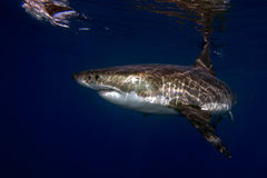 Great White shark ready to attack underwater Royalty Free Stock Image