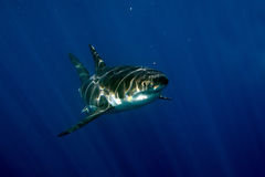 Great White shark ready to attack underwater Stock Photos
