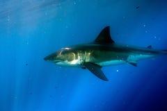 Great White shark ready to attack underwater Stock Photo