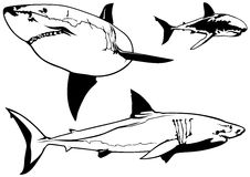 Great White Shark Set. Great White Shark (Carcharodon carcharias) Set - Illustration, Vector Royalty Free Stock Photo