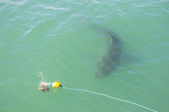 Great White Shark Stalking Decoy 2. A Great White Shark Stalking a Decoy and Bait in the Ocean Stock Photography