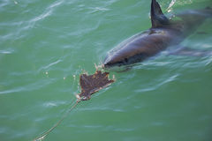 Great White Shark Stalking Decoy 7. A Great White Shark Stalking a Wooden Seal Decoy in the Ocean stock photo