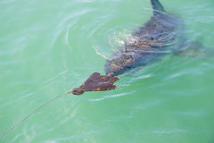 Great White Shark Stalking Decoy 6. A Great White Shark Stalking a Wooden Seal Decoy in the Ocean Stock Image
