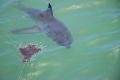Great White Shark Stalking Decoy 1. A Great White Shark Stalking a Wooden Seal Decoy in the Ocean Stock Photography