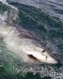 Great white shark surfacing Royalty Free Stock Photography