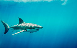 Great white shark swimming in the blue ocean under sun rays. Great white shark swimming in the blue Pacific Ocean  at Guadalupe Island in Mexico under sun rays Stock Images