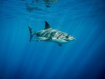 Great white shark swimming in the blue ocean under sun rays. Great white shark swimming in the blue Pacific Ocean  at Guadalupe Island in Mexico under sun rays Royalty Free Stock Photos