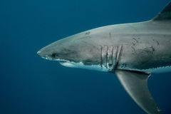Great white shark swimming in the depths of the Pacific Ocean Royalty Free Stock Image