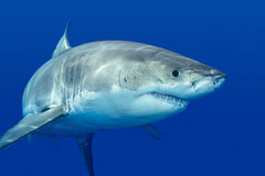 Great white shark. A great white shark swimming at Guadalupe Island looking for food