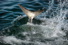 Great white shark tail Royalty Free Stock Images