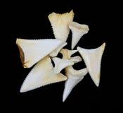 Great white shark teeth. Interesting group of great white shark teeth Stock Photos