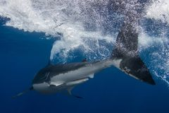 A Great White Shark tail royalty free stock photo
