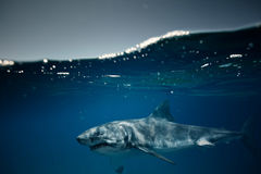 Great white shark against water surface underwater shot. Great white shark traveling by water surface view from bottom underwater Stock Images