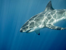 Great white shark under sun rays in the blue ocean. Great white shark swimming under sun rays in the blue Pacific Ocean at Guadalupe Island in Mexico Royalty Free Stock Photos